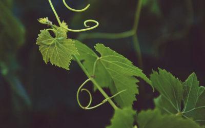 Sauvignon Blanc and plant water status